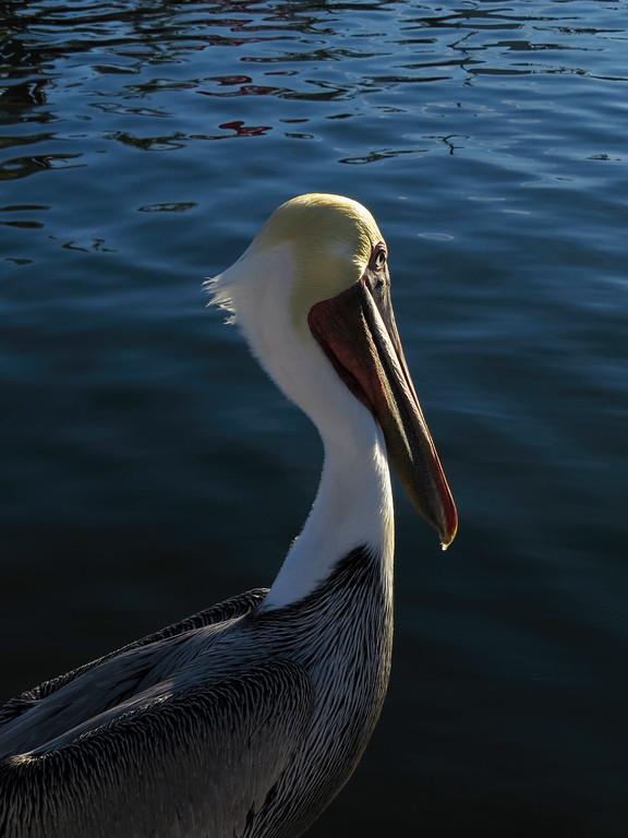 Brown Pelican At Sunset 2