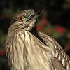 Juvenile Black-crowned Night Heron   (Nycticorax nycticorax)